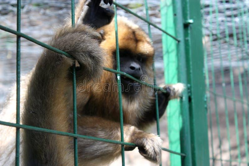 Singe en captivité images libres de droits