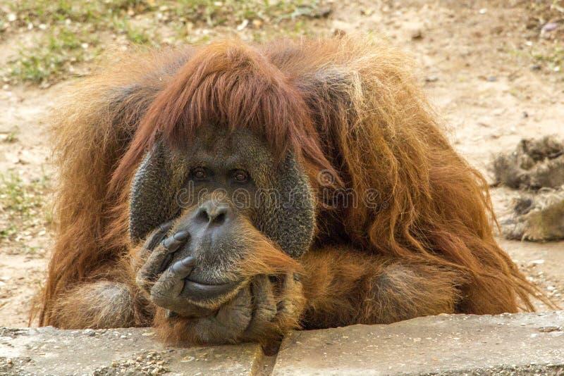 Singe ennuyé d'orang-outan images stock