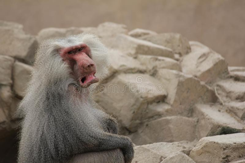 Singe fâchée et grincheuse de babouin de manteau avec beaucoup de fond vide photos stock