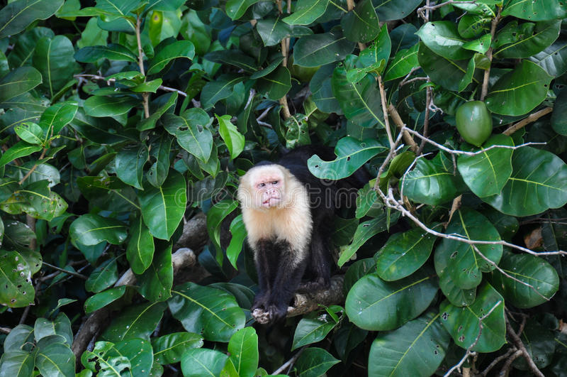 Singe fait face blanc de capucin en Manuel Antonio National Park, Cos image stock