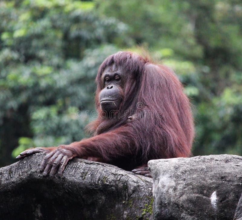 Singe femelle d'orang-outan au zoo photographie stock