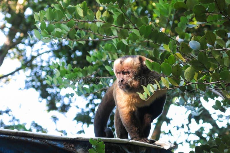 Singe gracile de capucin bolivia photos stock
