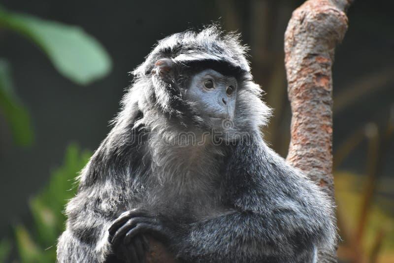 Singe gris et noir de Langur de Javan regardant autour photos libres de droits