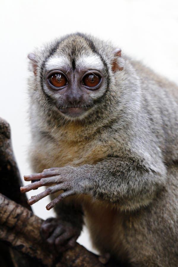 singe Gris-gonflé de nuit photo libre de droits