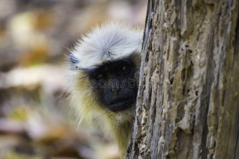 Singe Kanha Inde Inde moyenne de Langur jetant un coup d'oeil autour d'un arbre images stock