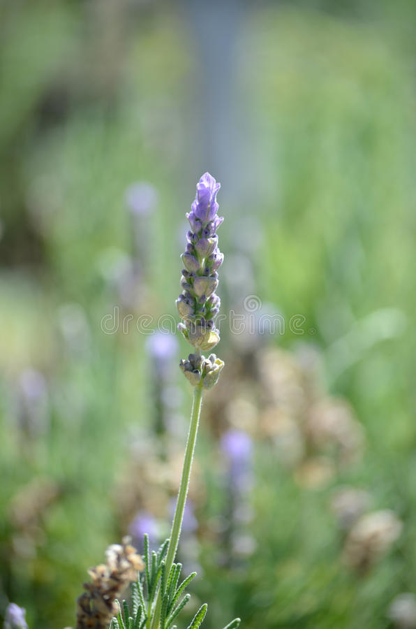 Singe lavender stock. Close up of single lavender stock stock images