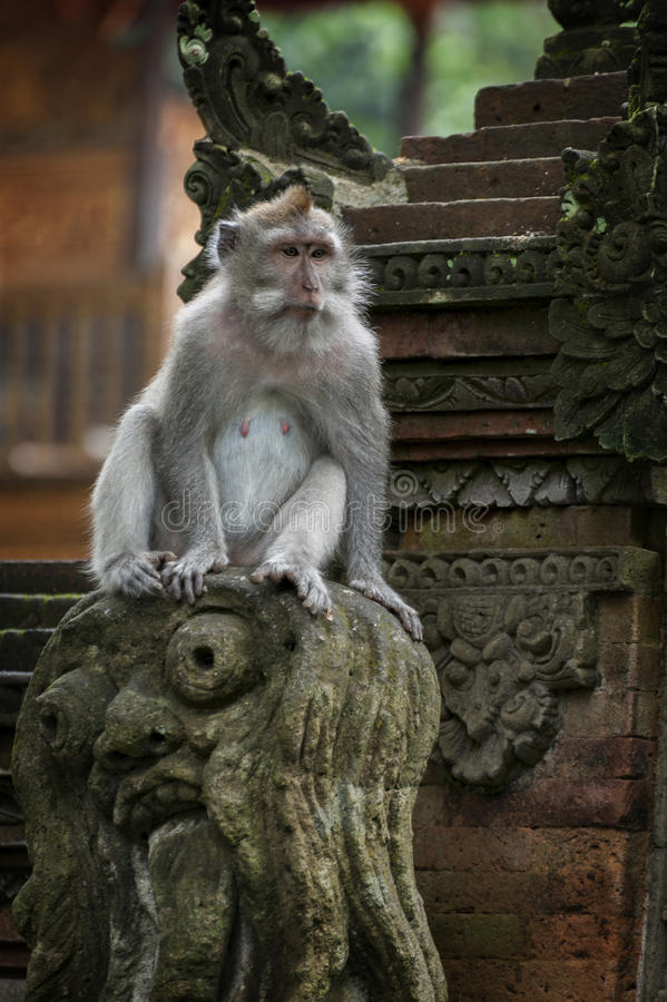 Singe long-coupé la queue par Balinese photographie stock