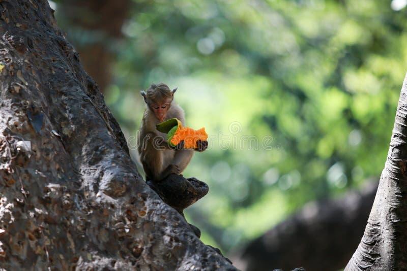 Singe mangeant d'un fruit sur un arbre images libres de droits