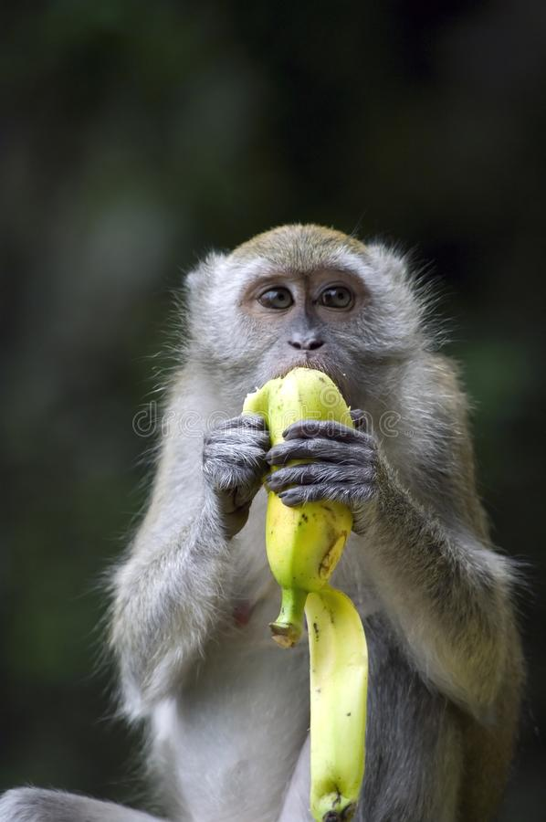 Singe mangeant la banane photo libre de droits