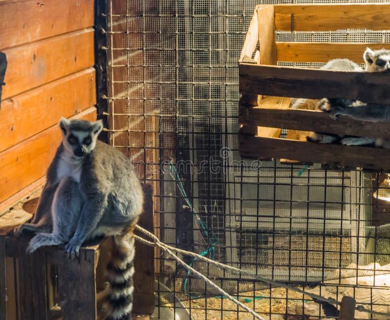 Singe mis en cage de lémur coupé la queue par anneau dans l'emprisonnement un animal familier animal tropical mis en danger images libres de droits