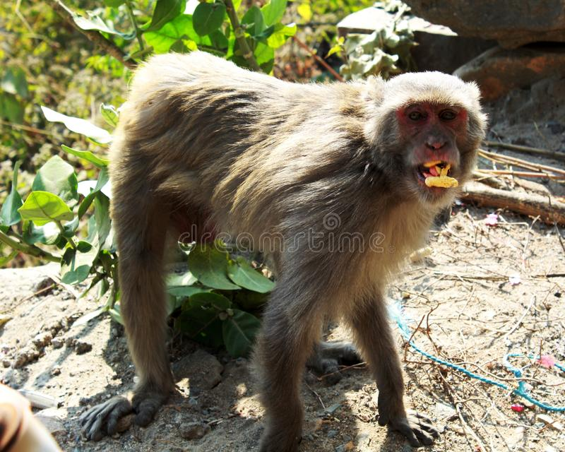Singe ou simians se tenant et mangeant photos stock