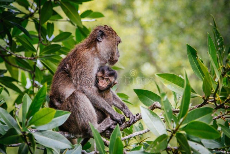 Singe protecteur de chéri de mère photographie stock libre de droits