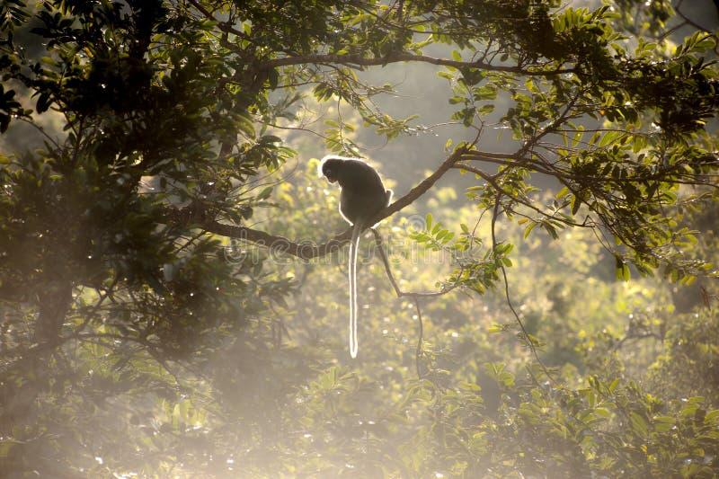 Singe reposant un arbre sur le soleil (obscura reid de Presbytis). photographie stock