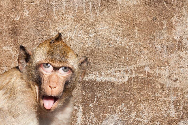 Singe rhésus avec sa langue collant, avec les yeux humains et le mur gris à l'arrière-plan image libre de droits