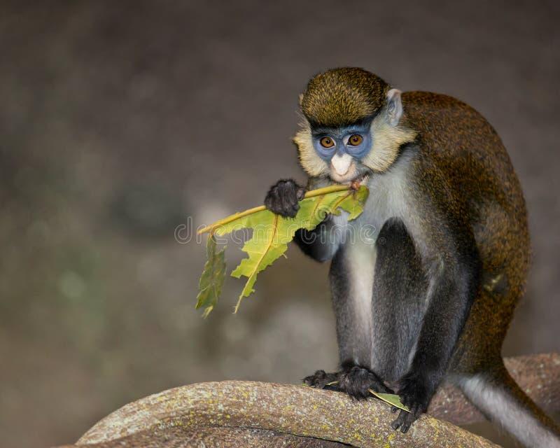 singe Rouge-coupé la queue image libre de droits