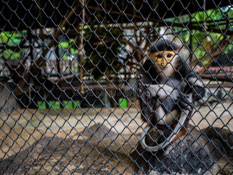 Singe rouge-shanked de douc, singe de nemaeus de Pygathrix derrière la cage photographie stock