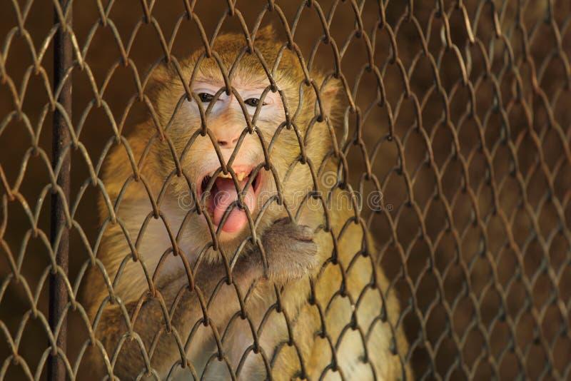 Singe sauvage verrouillé dans une cage photos libres de droits
