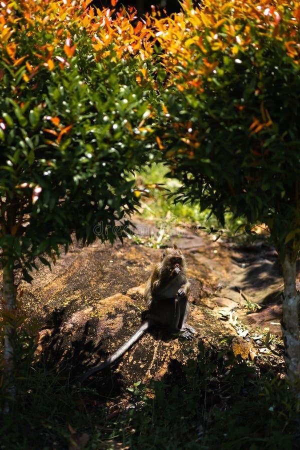 Singe se reposant sous des palmiers sur l'île de Ko Chang en Thaïlande en avril 2018 images libres de droits