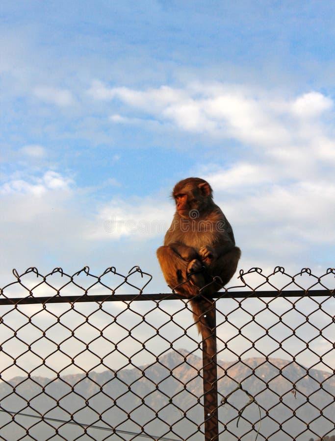 Singe se reposant sur la barrière photos libres de droits