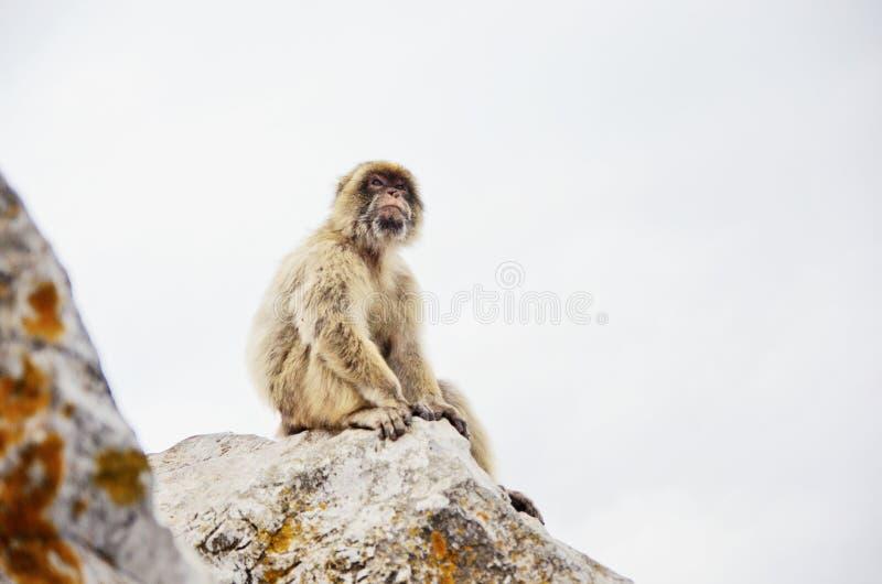 Singe se reposant sur la roche Portrait de singe du Gibraltar photo libre de droits