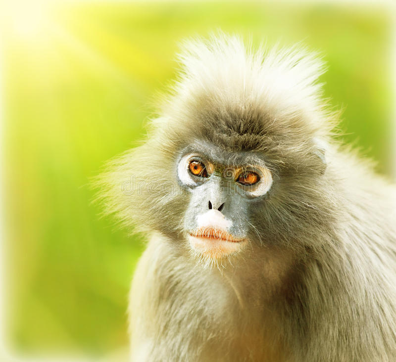 Singe sombre de lame images stock