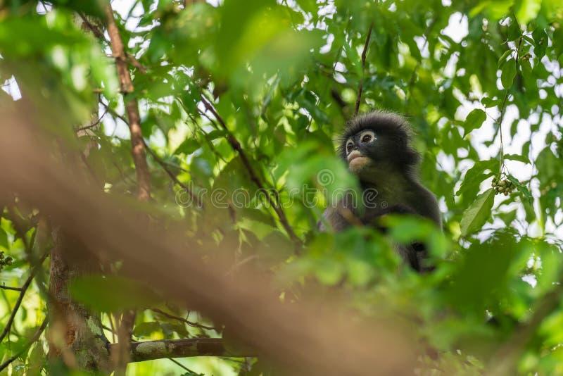 singe sombre de lame photos libres de droits