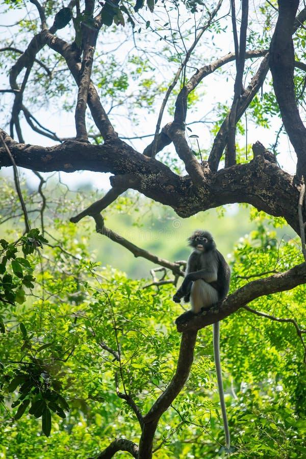 Singe sombre de Langur se reposant sur la branche d'arbre images stock