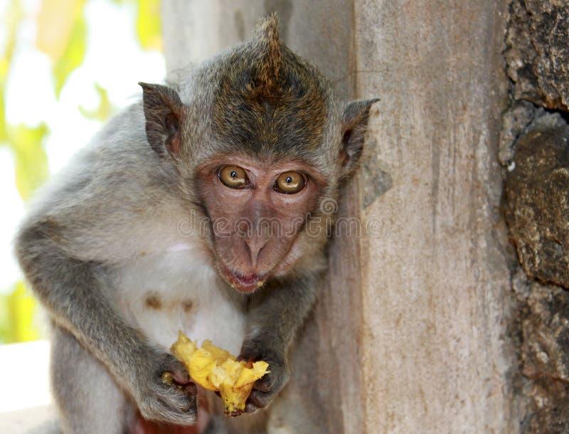 Singe sur l'île de Bali image libre de droits
