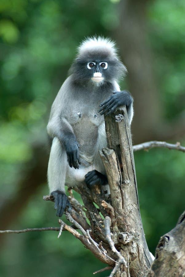 Singe sur l'arbre (Presbytis Obscura Reid). photographie stock libre de droits