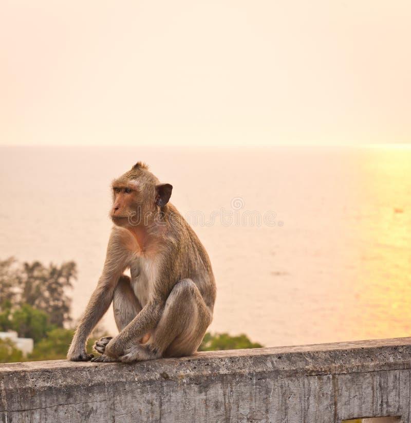 Singe sur un mur au coucher du soleil photo libre de droits