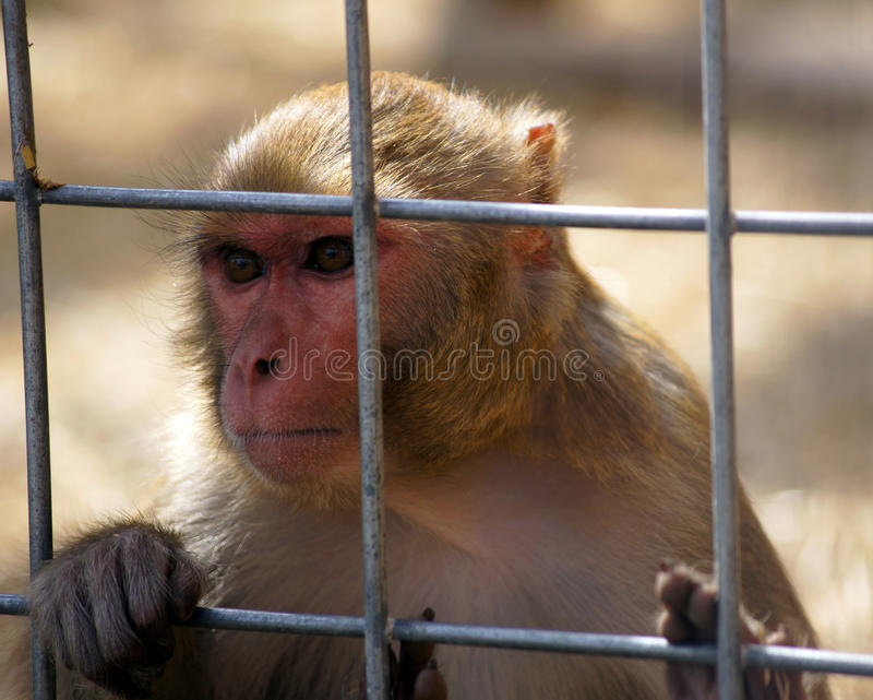 Singe triste photographie stock libre de droits