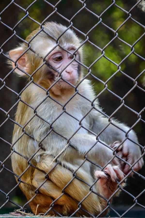 Singe triste de prisonnier image libre de droits