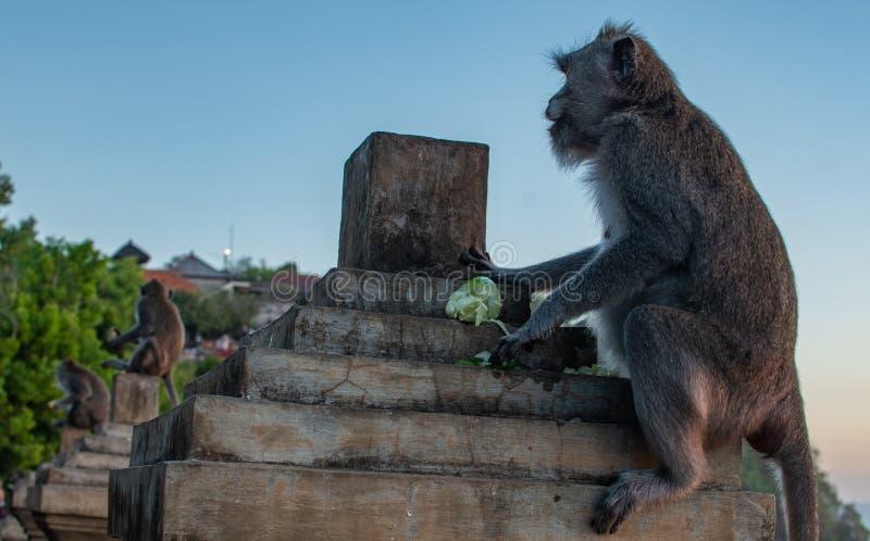 Singe trois sur des sièges de lever de soleil sur la barrière en pierre Coucher du soleil au temple d'uluwatu dans Bali du sud fa images libres de droits