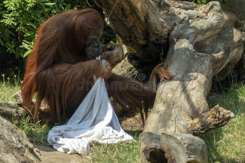 Singe utan d'orang-outan de singe de Zooo jouant le fantôme avec le drap photos stock