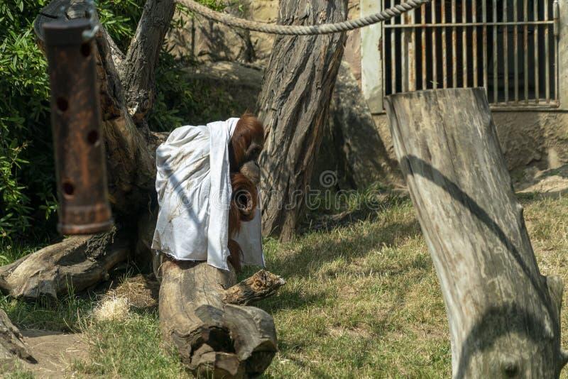 Singe utan d'orang-outan de singe de Zooo jouant le fantôme avec le drap images libres de droits