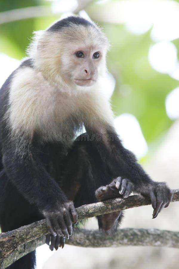 Singe White-Faced de capucin photographie stock libre de droits