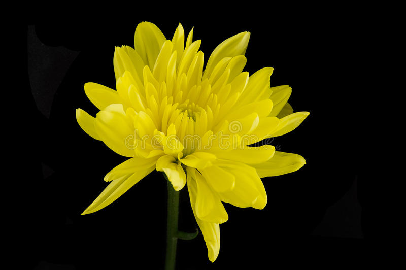 Singe Yellow Chrysanthemum. Isolated on a black background stock image