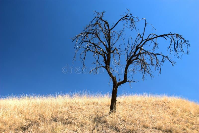 Singel bränt träd i ett torrt landskap royaltyfri bild