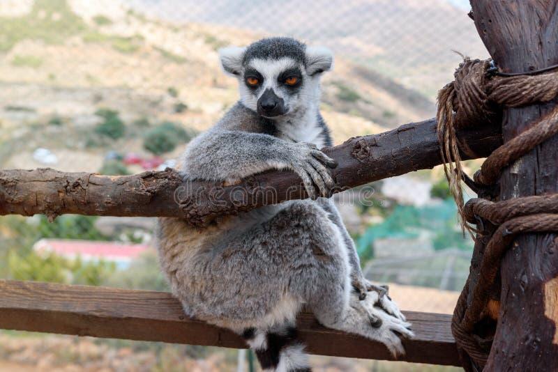 Singeln Cirkel-tailed makin, makicatta, sitter på en filial fotografering för bildbyråer