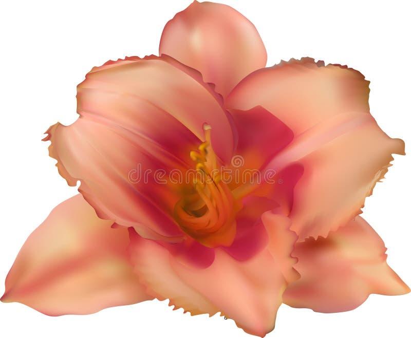 Singeln isolerade liljamörker - orange blom stock illustrationer