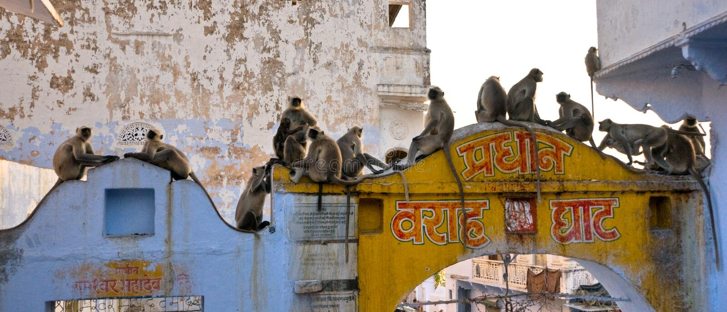 Singes à Jaipur, Inde. image libre de droits