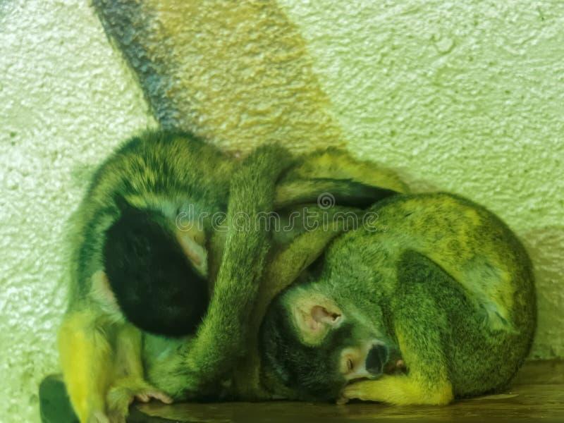 Singes-écureuils de sommeil image libre de droits