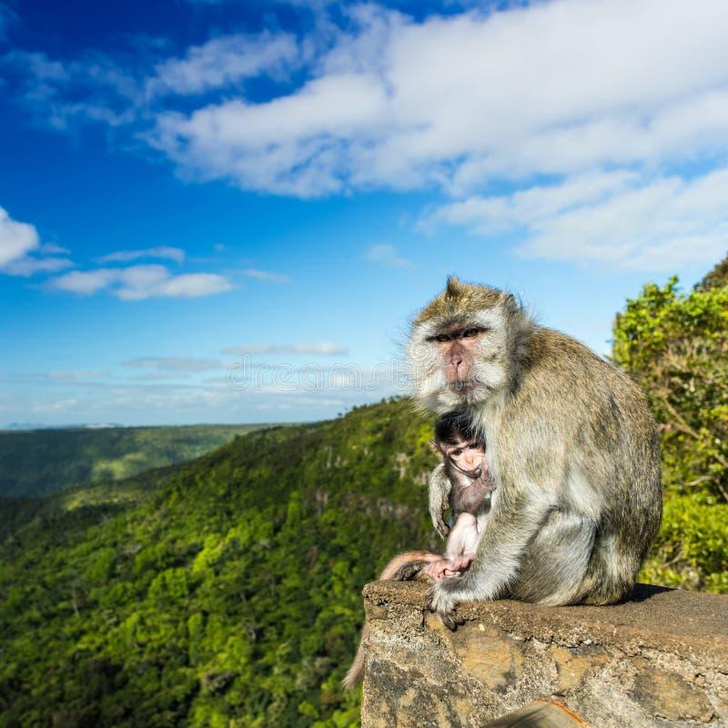 Singes au point de vue de gorges mauritius image stock