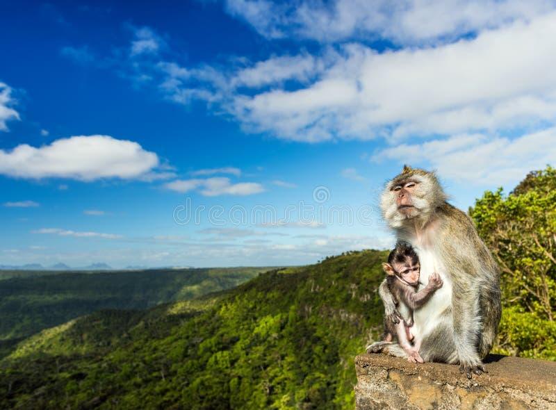 Singes au point de vue de gorges mauritius image libre de droits