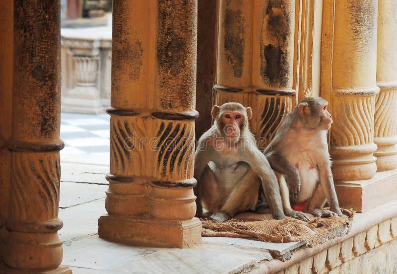 Singes dans le temple photos stock