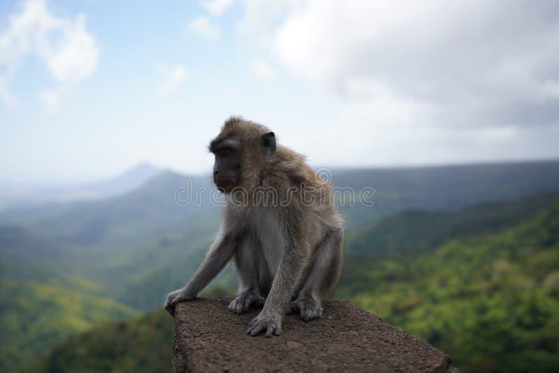 Singes de Macaque, Îles Maurice images stock