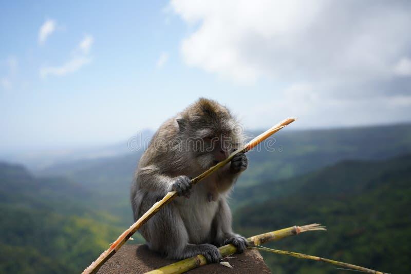 Singes de Macaque, Îles Maurice image libre de droits