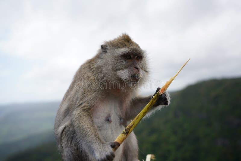 Singes de Macaque, Îles Maurice photographie stock libre de droits