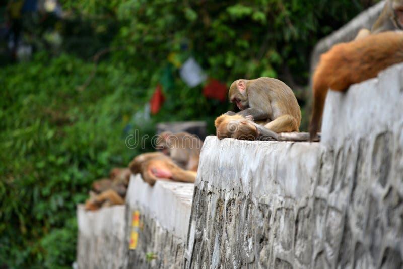 Singes de Macaque, au temple de Swayambhunath. Katmandou, Népal photo libre de droits