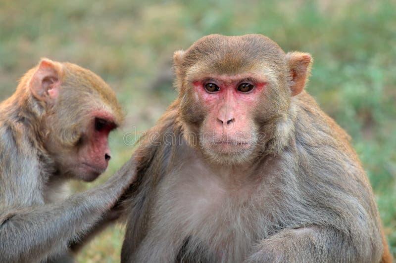 Singes de macaque de rhésus images libres de droits